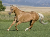 Palomino Stallion Running in Field  Longmont  Colorado  USA