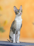 Cornish Rex Cat  Bicolor Blue-Tortie