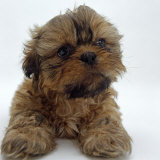 Shih Tzu Puppy  7 Weeks Old  Lying Down with Head Up