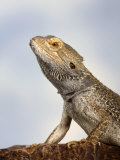 Inland Bearded Dragon Profile  Originally from Australia