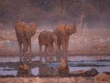 African Elephants at Water Hole  Etosha Np  Namibia