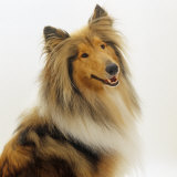 Sable Rough Collie  2 Years Old  Portrait