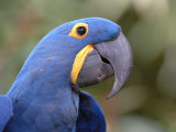 Hyacinth Macaw  Iucn Red List of Endangered Species