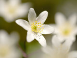 Wood Anemone  Devon  UK