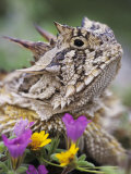 Texas Horned Lizard Adult Head Portrait  Texas  Usa  April