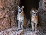 Two Puma Mountain Lion Cougar at Cave Entrance Arizona  USA