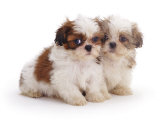 Two Shih Tzu Pups Sitting Together  7 Weeks Old