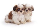 Two Shih Tzu Pups Sitting Together  7 Weeks Old