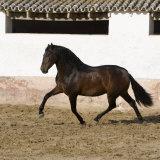 Bay Andalusian Stallion Trotting in Arena Yard  Osuna  Spain