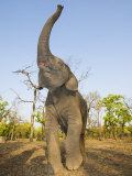 Asian Indian Elephant Holding Trunk in the Air  Bandhavgarh National Park  India 2007