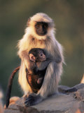 Hanuman Langur Adult Caring for Young  Thar Desert  Rajasthan  India