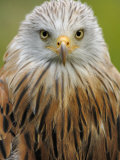 Red Kite  Iucn Red List of Endangered Species Captive  France