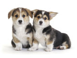 Two Pembrokeshire Welsh Corgi Pups  9 Weeks Old  Ears Starting to Prick