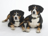 Two Entlebucher Mountain Dogs Lying Down