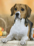 Domestic Dog  Beagle
