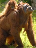 Orang Utan Female with Her Baby on Her Back Captive  Iucn Red List of Endangered Species
