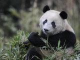 Giant Panda Feeding on Bamboo  Wolong Nature Reserve  China