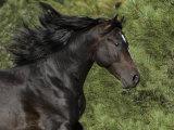 Black Connemara Stallion Running in Field Elizabeth  Colorado  USA