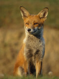 Red Fox Female Sitting Portrait Cornwall  UK