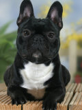 Domestic Dog  French Bulldog