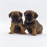 Two Border Terrier Puppies  5 Weeks Old  Sitting Together
