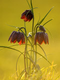 Snake&#39;s-Head Fritillary  Evening Light  Devon  UK