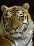 Siberian Tiger Male Portrait  Iucn Red List of Endangered Species