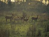 Barasingha Swamp Deer Kaziranga Np  Assam  India