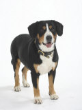 Entlebucher Mountain Dog Standing