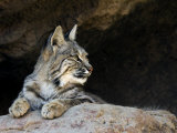 American Bobcat Portrait Resting in Cave Arizona  USA