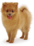 Pomeranian Puppy  10 Weeks Old