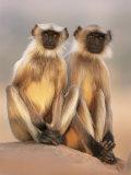 Hanuman Langur Two Adolescents Sitting  Thar Desert  Rajasthan  India