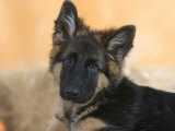 Domestic Dog  German Shepherd Alsatian Juvenile 5 Months Old
