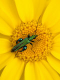 Thick-Legged Flower Beetle on Corn Marigold  Cornwall  UK