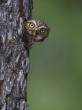 Ferruginous Pygmy Owl Adult Peering Out of Nest Hole  Rio Grande Valley  Texas  USA