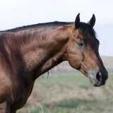 Bay Quarter Horse Stallion  Longmont  Colorado  USA