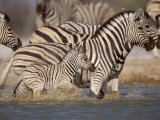 Common Zebra Wading at Waterhole Etosha Np  Namibia  2006