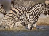Common Zebra Wading at Waterhole Etosha Np  Namibia  2006