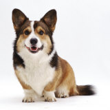 Pembrokeshire Welsh Corgi Undocked Dog  9 Months Old  Sitting