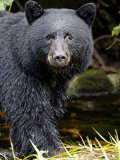 Portrait of Black Bear  Princess Royal Island  British Columbia  Canada