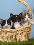 Domestic Cat  Three Kittens in a Basket