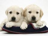 Two Yellow Goldidor Retriever Pups Lying on a Slipper