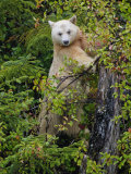 Kermode Spirit Bear  White Morph of Black Bear  Princess Royal Island  British Columbia  Canada