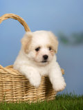 Coton De Tulear Puppy  6 Weeks  in a Basket