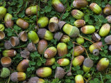 English Oak Tree Acorns on Forest Floor  Belgium