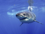 Great White Shark Underwater  Guadalupe Island  Mexico