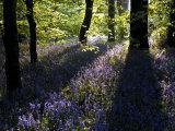 Lanhydrock Beech Woodland with Bluebells in Spring, Cornwall, UK Papier Photo par Ross Hoddinott
