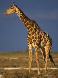 Giraffe Portrait at Sunset  Etosha Np  Nambia