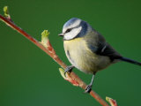 Blue Tit on Branch  Cornwall  UK