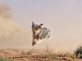 Cowdog Taking a Flying Leap  Flitner Ranch  Shell  Wyoming  USA